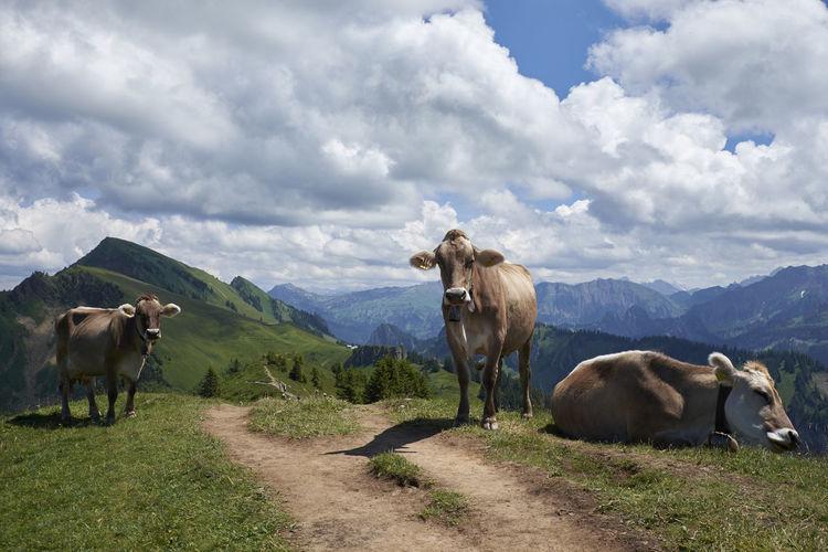 Cows Mammal
