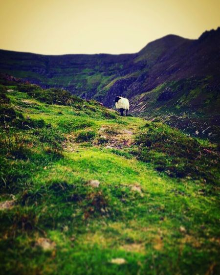 Sheep Comeragh Mountain Landscape Countryside Outdoors