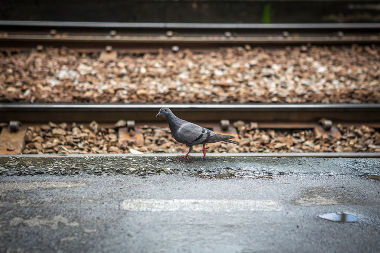 Dove walking along the railroad tracks Animal Animal Themes Animal Wildlife Animals In The Wild Bird Day Dove - Bird Focus On Foreground Full Length Nature No People One Animal Outdoors Perching Rail Transportation Railroad Track Selective Focus Solid Track Transportation Vertebrate
