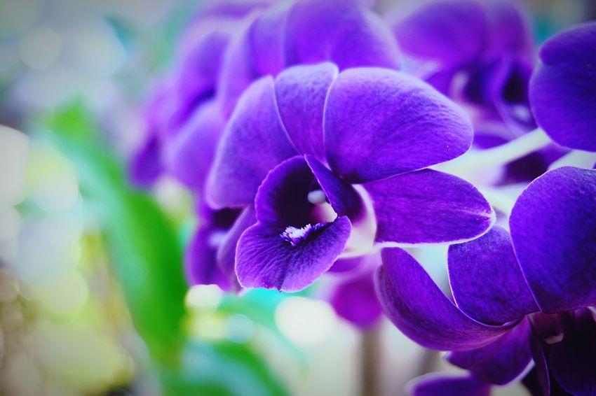 ดอกกล้วยไม้ไทย สีม่วง Purple Flower Orchid Flower Flower Beauty In Nature Nature Plant Close-up Thai Orchid