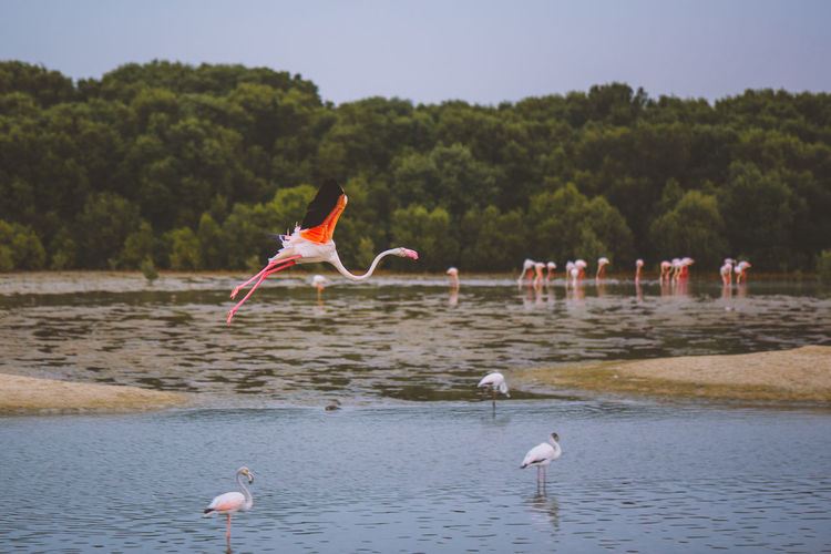 Flamingos at lake
