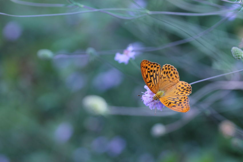 Argynnis Paphia Nymphalidae Animal Animal Themes Animal Wildlife Animal Wing Beauty In Nature Butterfly Butterfly - Insect Close-up Day Flower Flower Head Focus On Foreground Fragility Insect Invertebrate Macro Nature No People One Animal Outdoors Plant Pollination Purple