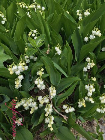 jetzt fehlt nur noch eine Maibowle 💕💗 MAI Mai2016 Maiglöckchen  Maibowle Blütenduft Duft Spazieren Und Fotografieren Spazieren Iphone6 IPhoneography The Purist (no Edit, No Filter)