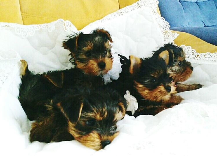 Relaxing Taking Photos Check This Out Enjoying Life Hello World Dog Cute Yorkshire Terrier York Enjoying Life Relaxing Roses Puppy