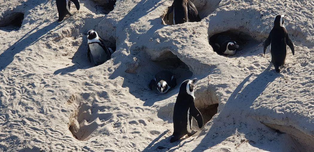 African penguins on white sandy beach