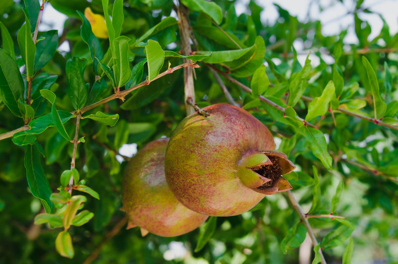 Pomegranate fruits hanging on tree Hanging Close-up Day Food Freshness Fruit Green Color Growth Leaf Nature No People Outdoors Plant Pomegranate Pomegranate Fruit Pomegranate Tree Tree