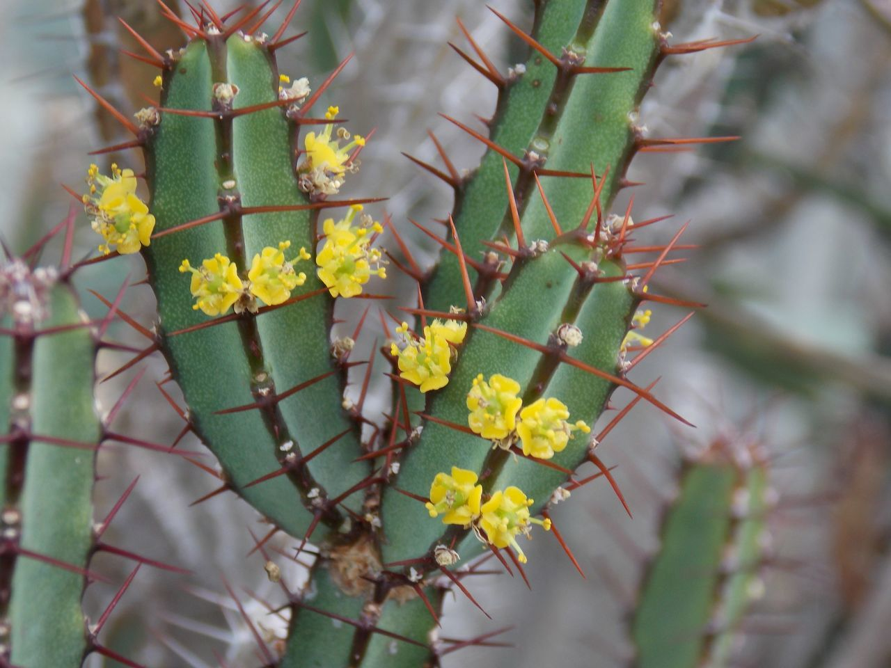 Close-Up Of Yellow Leaves On Cactus