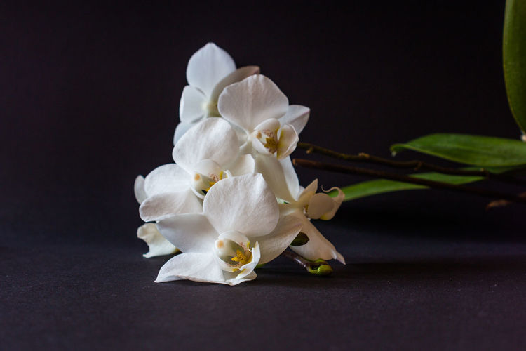 Close-Up Of White Orchid Flowers Against Black Background