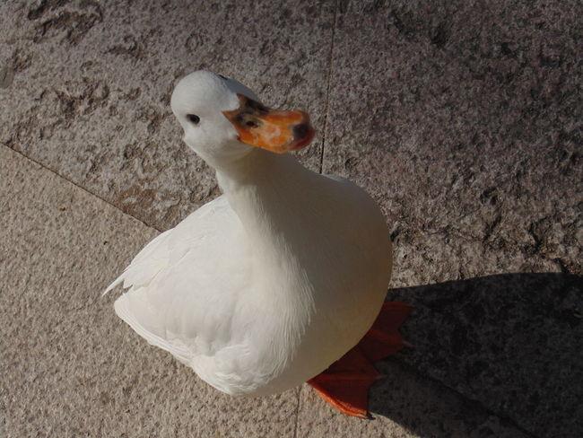 Animal Themes Animal Wildlife Animals In The Wild Beak Bird Close-up Day Duck Nature No People One Animal Outdoors White Duck