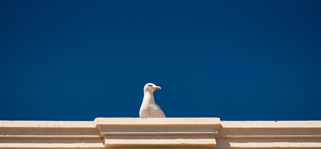 Beauty In Nature Bird Blue Clear Sky Day High Section Low Angle View Nature No People Outdoors Perching Roof Sky White