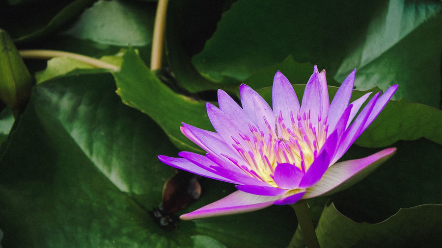 Close-up Nature Freshness Growth Beauty In Nature Floating On Water Lotus Lotus Flower Lotus Water Lily Water Lily Purple