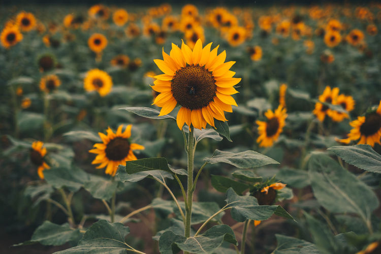 sunflower field Flower Flowering Plant Freshness Fragility Growth Vulnerability  Beauty In Nature Yellow Plant Petal Flower Head Close-up Inflorescence Nature Land Plant Part Field Focus On Foreground Leaf Sunflower No People Pollen Outdoors Field Farm Agriculture Garden Gardening Botany Backgrounds Moody Isolated Blooming Object Texture Foliage Beautiful Sanctuary  Travel Philippines Tropical Seeds Protein Food Vegan Vegetarian Raining Photography Copy Space Selective Focus