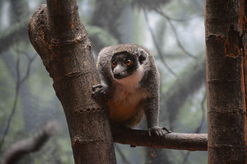 Low Angle View Of Mongoose Lemur On Tree At Philadelphia Zoo