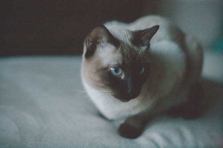 Cat Close-up Domestic Cat Feline Indoors  No People Siamese Siamese Cat Thai Cat Traditional