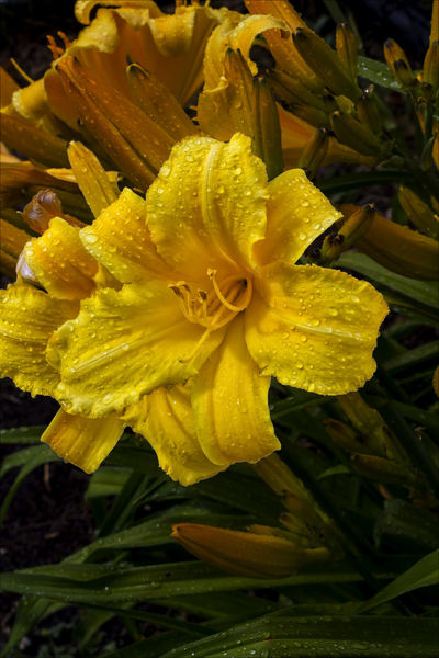 Lily and Raindrops Flower Lily Lily And Raindrops Nature Raindrops Raindrops And Flower