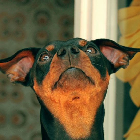 One Animal Animal Body Part Dog Animal Themes Domestic Animals Animal Head  Indoors  Pets Pinscher Melow Loveanimals Animaloftheday Animal Lovers Mammal Close-up No People Day Protruding