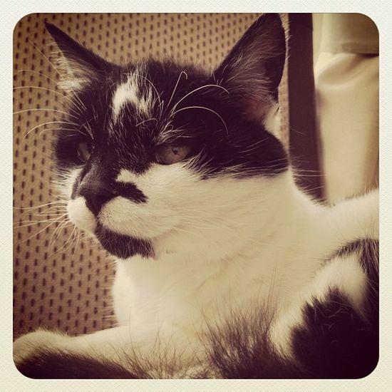 ❤ 🐱Daisy 🐱❤ Daisy Cat Cats Niko Crazycatgirl Crazycatlady Photooftheday Photo365 Igers Instagrammers K8marieuk Blackandwhitecats Furry Fuzzball  Fluffy Cute Puddytats