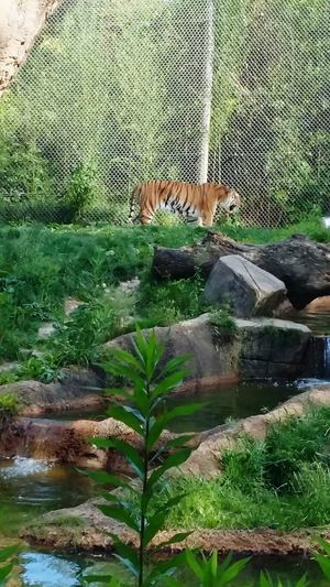 Tigers Zoo Animals  Animals In Captivity Big Cats Nature Green Color Day No People Beauty In Nature Plant Growth
