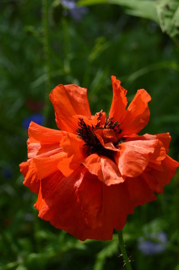 Poppies  Poppy Flowers Poppy Flower Red Flower Flowers, Nature And Beauty Flowers Flower Photography Flowerphotography Flowers,Plants & Garden Nature Beauty In Nature RedFlower Redflowers Red Flower Macro Flower Head Flower Poppy Red Summer Petal Blossom Close-up Plant
