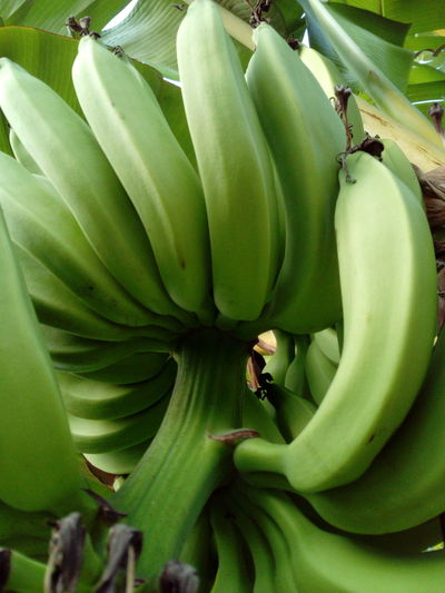 Color Palette Green Bananas Jakarta Indonesia Banana Green Color Banana Tree Fruit Growth Food And Drink No People Banana Leaf Tree Food Nature Day Healthy Eating Freshness Outdoors Close-up Beauty In Nature Animal Themes