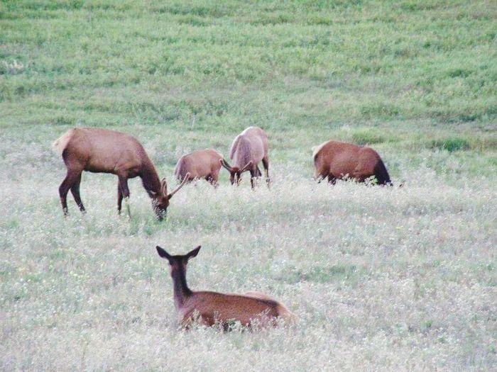 Elk Wildlife &