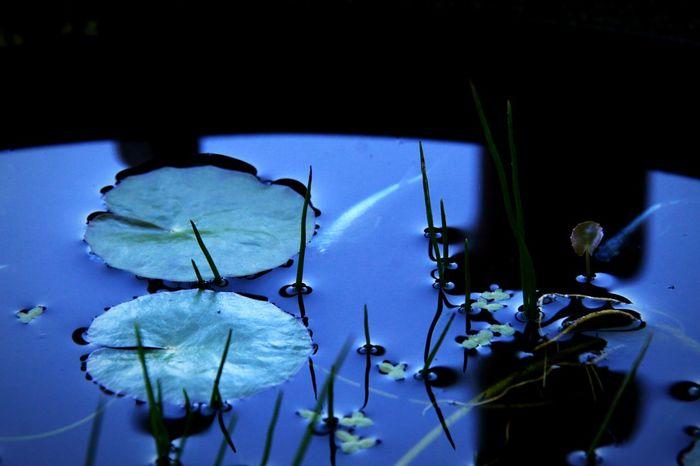 Waterweed Japanese Killifish Morning Biotope