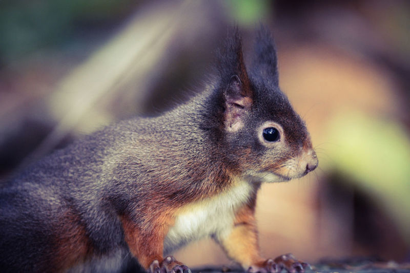 red squirrel One Animal Animal Themes Animal Wildlife Mammal Close-up Focus On Foreground Cute No People Animals In The Wild Nature Day Outdoors Pets Nature Portrait Animals In The Wild Wildlife Photography Autumn🍁🍁🍁 Autumn Headshot
