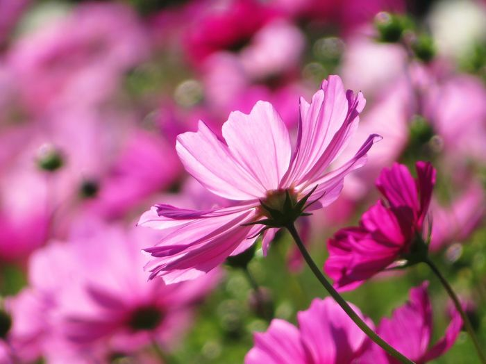 Flowering Plant Flower Freshness Plant Beauty In Nature Pink Color Fragility