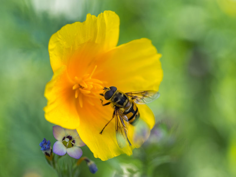 overfly on flower Animal Themes Animal Wildlife Animals In The Wild Beauty In Nature Bee Blooming Close-up Day Flower Flower Head Focus On Foreground Fragility Freshness Growth Hoverfly On Flower Insect Nature No People One Animal Outdoors Petal Plant Pollination Yellow Yellow Poppy With Hoverfly