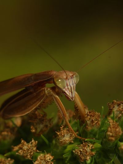 Chinese Mantis Insect Photography Macro Photography