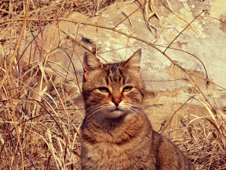 Domestic Cat Animal Themes One Animal Looking At Camera Portrait Pets Nature Outdoors No People Close-up Cats Of EyeEm Animal Representation Nature Colours Of Life Animals In The Wild Freedom Life Enjoy The Little Things Beauty In Nature Lovephotography  Great Outdoors The Great Outdoors - 2017 EyeEm Awards Sun Summer Sitting Lookintomyeyes Pet Portraits