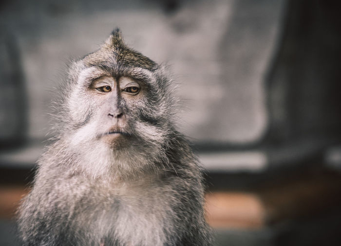 A close up picture of a balinese monkey with a serious face that looks like a meme.