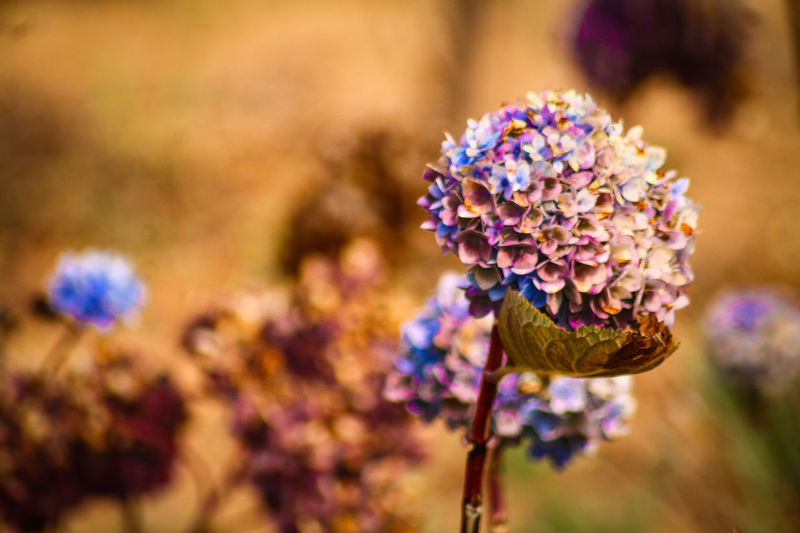 Flower Fragility Nature Plant Beauty In Nature Purple Focus On Foreground Freshness Close-up Flower Head Outdoors No People Day Spring Flowers Purple Flowers Summer Blooms Abundance Light And Shadow Peace Golden Lighting Autumn Scene Golden Shimmer Savannah Million Flower
