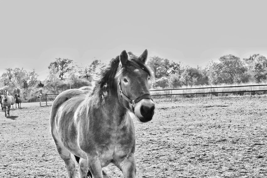 Draft Horses Renish German Coldblood Drafthorse Horse Photography  Black And White Pets Portrait Horse Sky