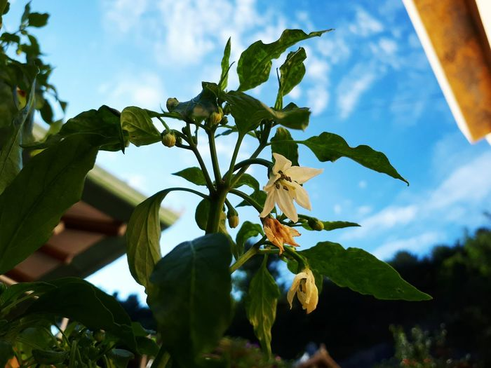 Tree Leaf Nature Cloud - Sky No People Sky Outdoors Low Angle View Growth Branch Plant Beauty In Nature Day Flower Close-up Freshness Chili Flower Pepper Flower Lost In The Landscape EyeEmNewHere Green Color Fragility Flower Head