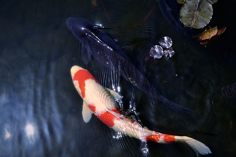 High angle view of koi carp swimming in lake