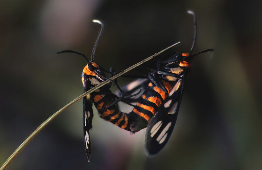 Amata huebneri Animal Themes Animal Wildlife Animals In The Wild Beauty In Nature Bokeh Bokeh Photography Close-up Day Freshness Insect Insects  Macro Macro Photography Moth Nature Nature Nature_collection No People One Animal Outdoors Small Tiger Moth Tranquility Wildlife Wildlife & Nature