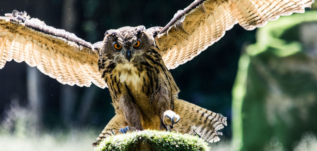 Eagle-owl landing on a stump, a horizontal image of a bird of prey while it is gliding.