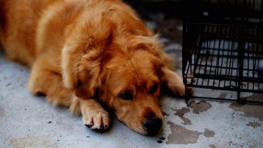 Dogs Pets Dog Domestic Animals One Animal Animal Themes Mammal Brown