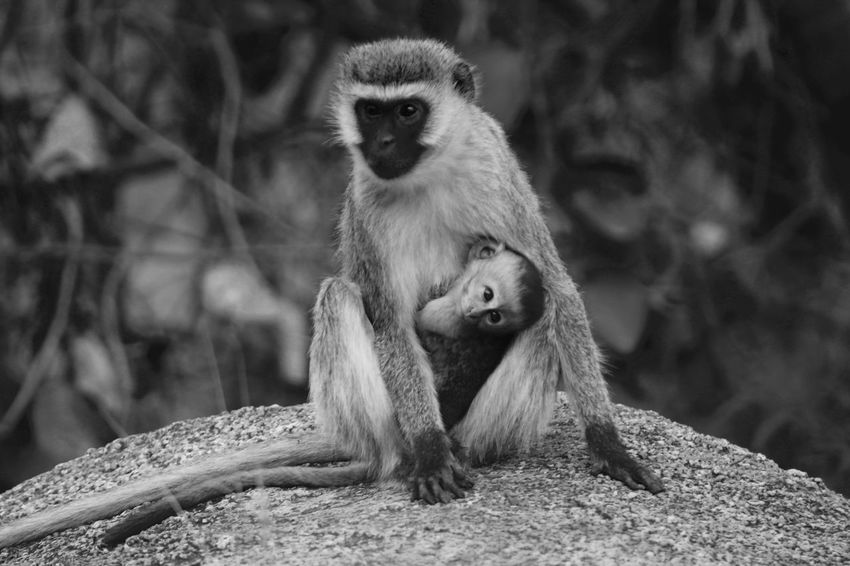 Africa Animal Hair Animal Themes Animals In The Wild Baby Monkey Beauty In Nature Black And White Day Focus On Foreground Forest Mammal Monkey Monkeys Mother And Baby Monkey Nature Outdoors Primate Tanzania Tree Trunk Two Is Better Than One Velvet Monkey Vervet Monkey WILD MONKEYS Wildlife Zoology