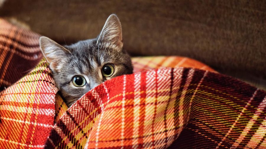 High Angle Portrait Of Kitten Wrapped In Blanket