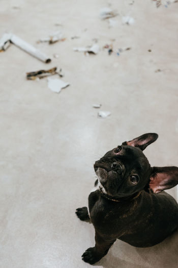 Definitely not me, master! Innocence Innocent Face Innocent Mess Pets Dog Bulldog French Bulldog Puppy Purebred Dog Canine