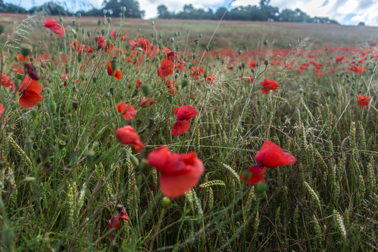 Poppies growing in field
