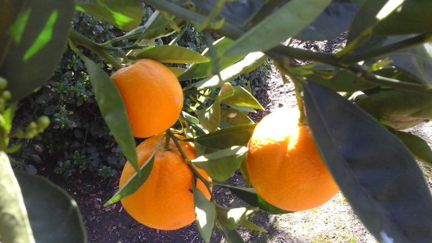So Fresh Sweet Oranges Better Look Twice Freelance Life Nature Luver Pure..untouched Creative Light And Shadow February Showcase Every Picture Tells A Story Daily_captures Appreciating This Moment EyeEm Best Shots Awesome_shots Light And Shadow Nature_collection The Purist (no Edit, No Filter) For The Luv Of It Unfiltered Good Morning Everyone!