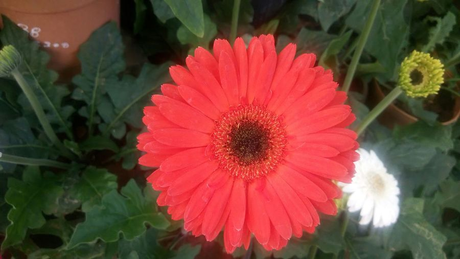 Flower Beauty In Nature Fragility Petal Nature Plant Freshness Flower Head Close-up Growth Leaf Red Blooming Outdoors Pollen Gerbera Daisy No People Day Nature Green Color Nature_collection White Flower Nature Photography Eyem Flower_collection EyeEm Gallery Nature_collection
