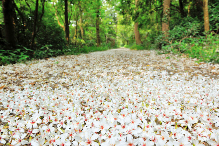 Quiet forest, floating under the white tung flowers, covered with country roads. Country Road Falling Natural Beauty In Nature Day Falling Flowers Flower Flower Head Forest Fragility Fresh Freshness Growth Large Group Of Objects Leaf Nature No People Outdoors Petal Plant Plant Flowers Tranquility Tree Tung Blossom White Flowers