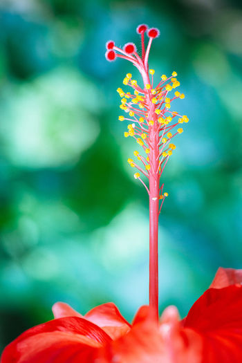 Beauty In Nature Blooming Blossom Botany Bud Close-up Flower Flower Head Fragility Freshness Growth In Bloom Nature No People Petal Plant Red Stem