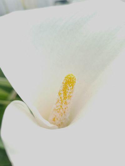 Calla lillies are in full bloom! Purity Beauty In Nature Maximum Closeness Calla Lily Eyeem Photography EyeEm Flowers Collection EyeEm Flower EyeEm Best Shots EyeEm Gallery Beautiful Close-up Eyeem Flowers Popular Photos Nature