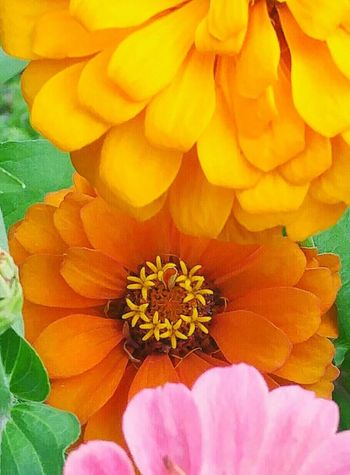 Macro Beauty Flowerporn Flower Collection Naturelovers Zinnia  Zinnias Flowers Q Is For Quintessential Nature LoverOrange Color Yellow Flower Flower Garden Beautiful Flowers Things I Like Colorful Flowers The Color Of Life The Color Of Spring . missing my zennias this year Home Is Where The Art Is Kentucky  Maximum Closeness Neon Life Perspectives On Nature