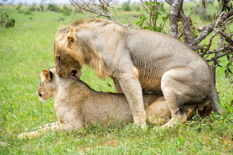 Lions Mating in the Wild Animal Themes Animal Wildlife Animals In The Wild Day Field Grass Hamids Lens Lion - Feline Lioness Mating Lions Mating Season Nature No People Outdoors Park Relaxation Tsavo Est Wildlife